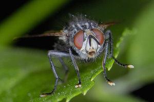 -Drosophila-.jpg