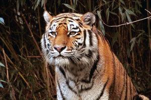 -Tiger-.jpg
