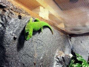 Madagaskar-Taggecko (Phelsuma madagascariensis).jpg