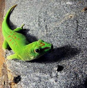 Madagaskar-Taggecko (Phelsuma madagascariensis)_cr.jpg