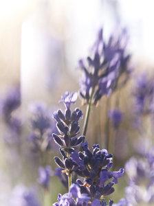 lavender1030193.jpg
