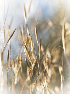 oat grass1030191.jpg