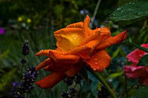 Rose 1 (1 von 1).jpg