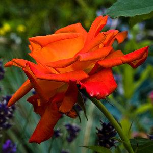 Rose (1 von 1).jpg