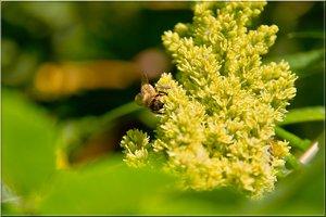 Honigbiene 2.jpg