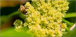 Honigbiene 3.jpg