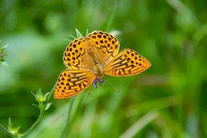 Butterfly-SD10 - IMG08859.jpg