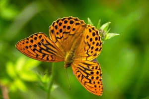 Butterfly-SD10 - IMG08862.jpg