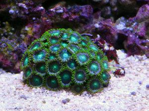 Koralle-2.jpg
