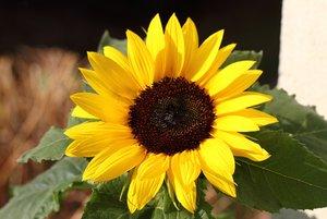 Sonnenblume-klein.jpg