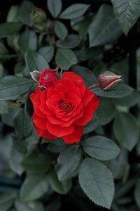 Rose 1a (c) .jpg