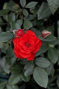 Rose 1a 5800 (c) .jpg