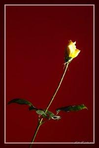 AV_Rose 1.jpg