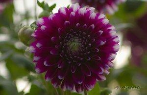 AV_Blume 4.jpg