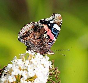 Schmetterling-Admiral.JPG