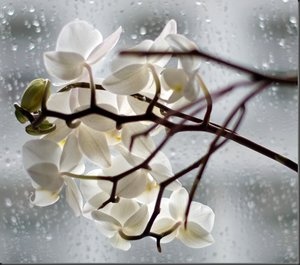 comp_orchideeweissvgva_thumb.jpg
