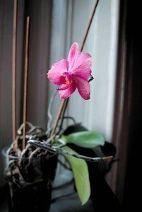 comp_orchidea pink.jpg