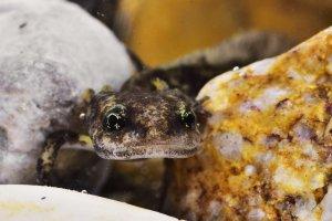 Salamandra salamandra II.jpg