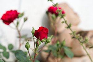 Gartenblumen 03 bf.jpg