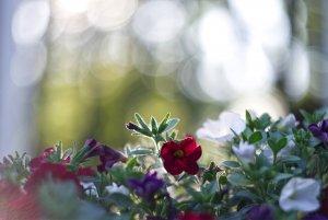 bf Gartenblume 02.jpg