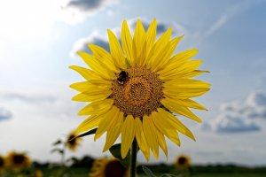 Sonneblume 1.jpg
