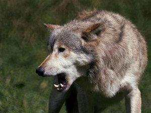 Wolf4-web.jpg