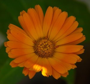 comp_orange blüte2 vágva.jpg
