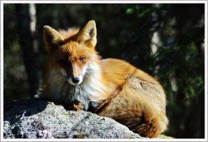 Fuchs beim Sonnen Bilderforum.jpg