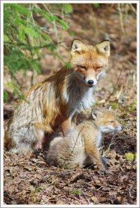 Mutter Fuchs mit Kind Bilderforum.jpg