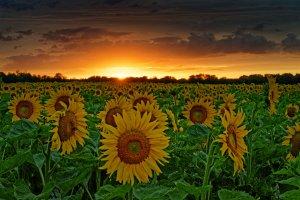 Sonnenblumen .jpg