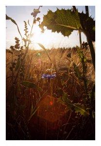 kornblume1bkR.jpg