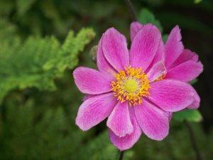 rosa Anemone.jpg