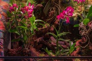 Dendrobium.jpg