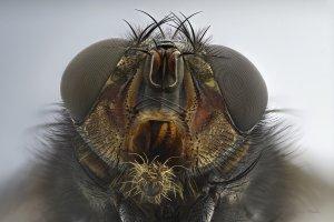 Die Fliege.jpg