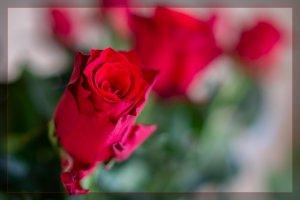 rose1_kR.jpg