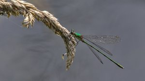 Polder Lüsche_IMG_3794(Chalcolestes viridis ?)-20210821.jpg
