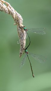 Polder Lüsche_IMG_3803(Chalcolestes viridis ?)-20210821.jpg