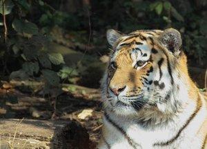 01_tiger.jpg