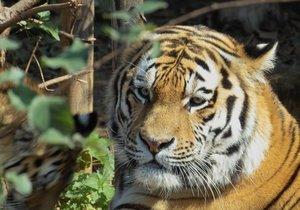 02_tiger.jpg