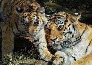 03_tiger.jpg