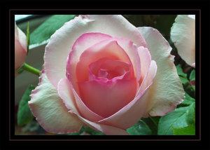 rose16.jpg