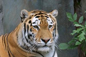 tiger_cs2.jpg