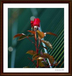 rose1 [1024x768].jpg