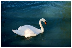 sleepless swan.jpg
