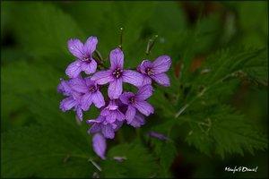 Alpenblume.jpg