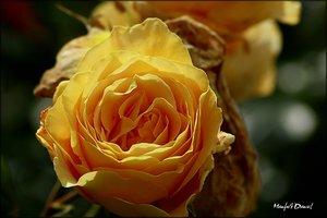 Rose Rosengarten_2.jpg