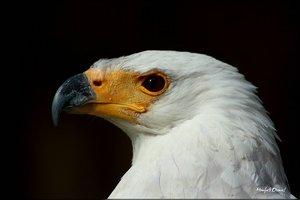 Weißkopfadler_2.jpg