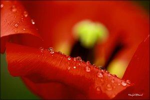 Tulpe_8.jpg