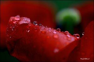 Tulpe_5.jpg