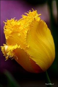 Tulpe_1.jpg